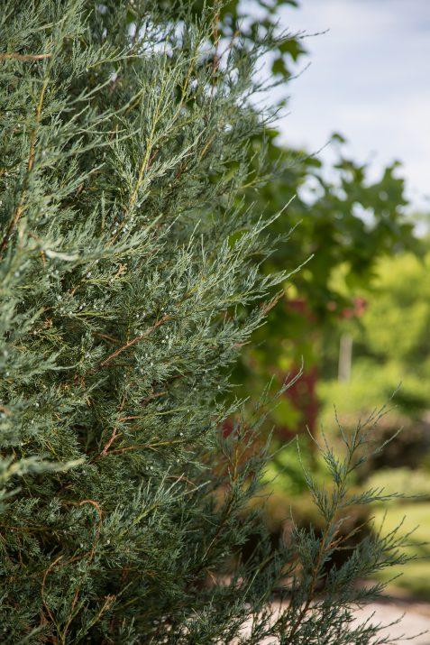 JuniperusscopFirstEditionsSkyHigh-06-2631-1