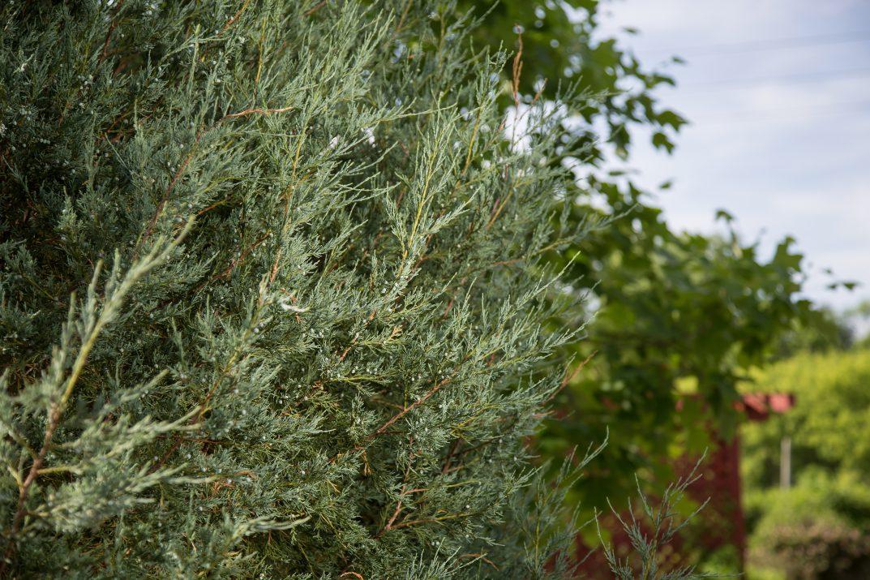 JuniperusscopFirstEditionsSkyHigh-07-2631-1
