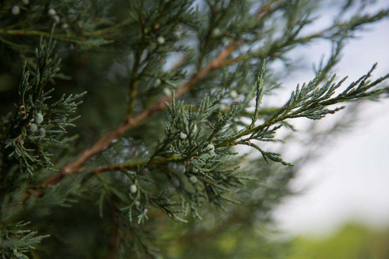 JuniperusscopFirstEditionsSkyHigh-08-2631-1