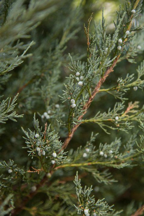 JuniperusscopFirstEditionsSkyHigh-09-2631-1