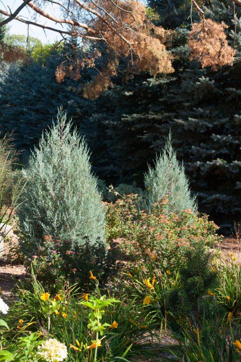 JuniperusscopFirstEditionsSkyHigh-15-2631-1
