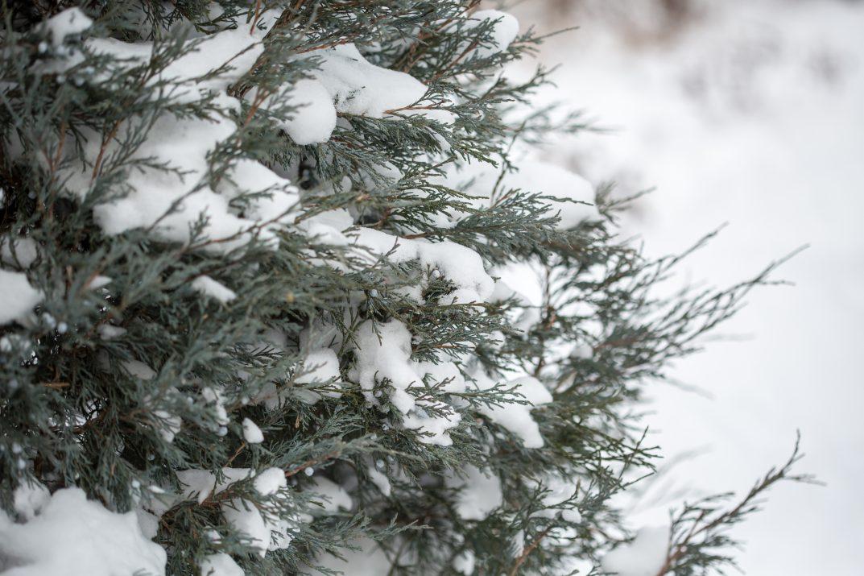 JuniperusscopFirstEditionsSkyHigh-38-2631-1