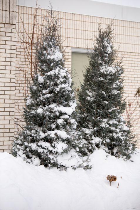 JuniperusscopFirstEditionsSkyHigh-42-2631-1