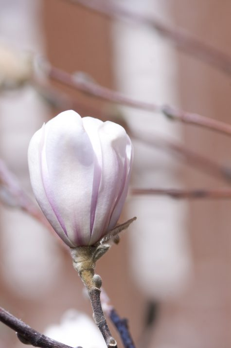 MagnoliaFirstEditionCentennialBlush-02-5696-1