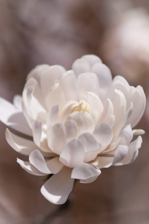 MagnoliaFirstEditionCentennialBlush-06-5696-1